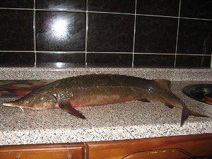 Tipurile și numele de pește roșu