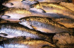 Nume de pește de somon