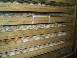 Perioada de valabilitate a ouălor