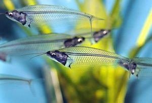 Sticlă de somn - ce este acest pește