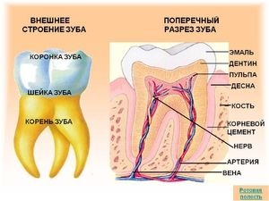 Anatomia unui dinte uman