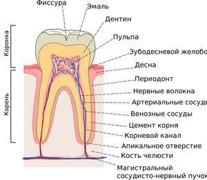 Care sunt funcțiile dinților?