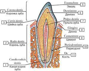 Din ce constă dintele uman?