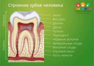 Structura dintelui uman
