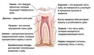 Numele dinților la om