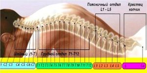 Structura și desemnarea segmentelor vertebrale-motoare