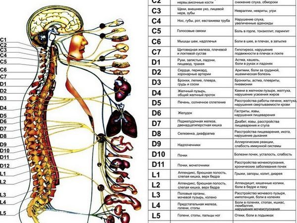 Structura și funcția coloanei umane