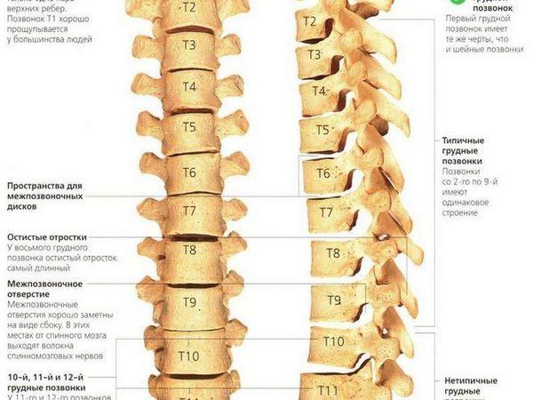 Descrierea structurii și funcțiilor coloanei vertebrale toracice