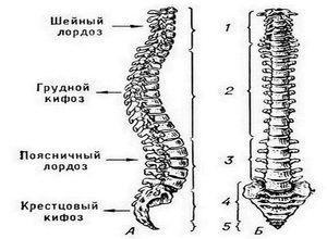 Descrierea curburilor coloanei umane
