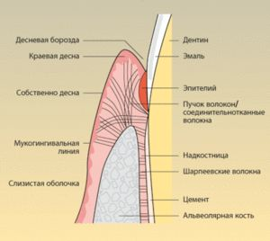 Descrierea structurii gumei