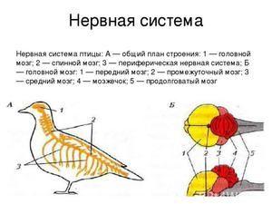 Corpurile simțurilor păsărilor