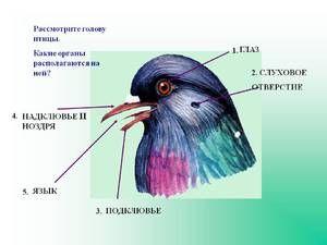 Sistemul nervos al unei păsări - planul general al unei structuri