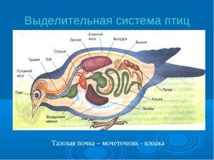Sistem de excreție a păsărilor