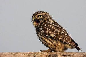 Owl: Cum arată o pasăre cu un strigăt plângător