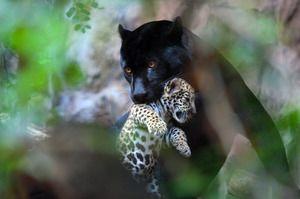 Ce Jaguar mănâncă
