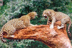 Descrierea jaguarului animalului