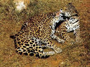 Unde trăiește jaguarul