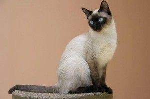 Pisica Thai si personajul ei