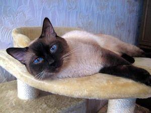 Pisica Thai în apartament