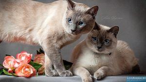 Două pisici de culoare Thai Point
