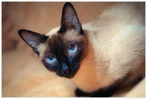 Pisică thailandeză cu ochi piercing fotografie
