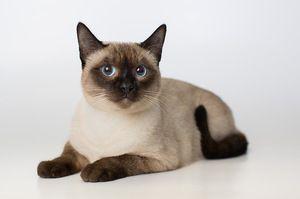 Culoarea pisicii a fotografiei punct-point