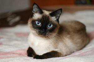 O pisică frumoasă pe pat