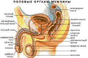 Sistem reproductiv masculin - imagine vizuală