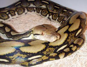 Cum să conțină Python