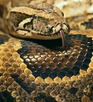 Hrănirea tigorego python