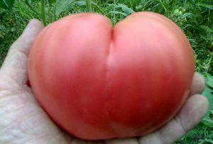 Cum să crească o inimă de bovină de tomate