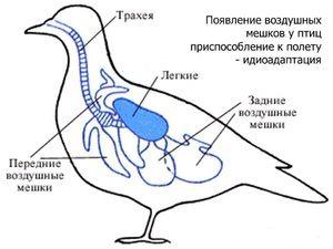 Probleme respiratorii la păsări