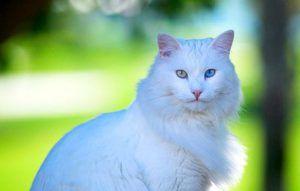 Descrierea rasei de pisici angora turceasca
