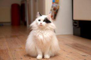 Cum să aibă grijă de o angora turcă de pisică
