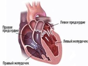 Inima constă din atriuri și ventricule care își îndeplinesc funcțiile