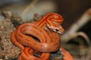 Visă la uciderea unui șarpe