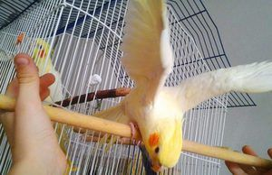 Cum arata papagalul Corail?