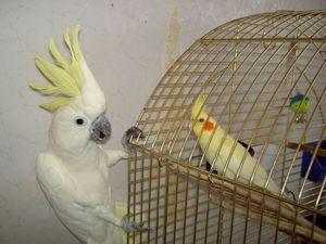 Apariția de papagali de Corella