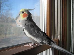 Ce să hrănești cu papagalii lui Corella