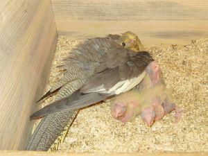 Pătrunderea în papagalii lui Corella