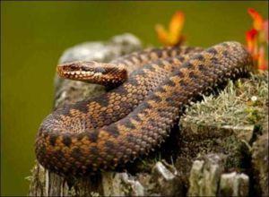 Cât de periculoasă este muștea de viperă și ce trebuie să faceți dacă sunteți mușcat de un șarpe?