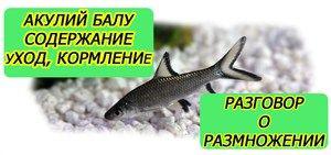 Condiții de întreținere și reproducere a peștilor de acvariu de rechini balu