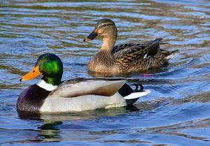 Duck-mallard: diferența dintre bărbat și femeie