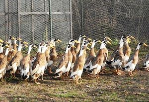 Indian Runners