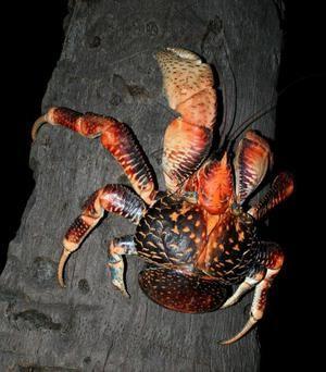 Un crab grozav și uriaș de cocos sau un hoț de palmier!