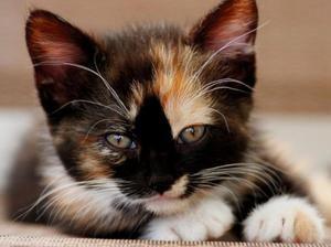 Pisicile cu trei culori - ceea ce sunt