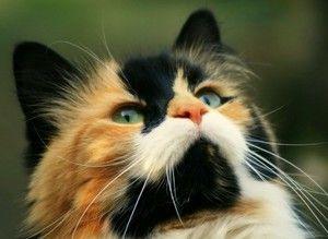 Pisicile și pisicile sunt de trei culori - de ce pisicile sunt rare?