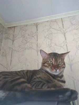 Castrarea târzie a pisicii