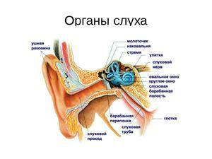 Structura organelor de auz