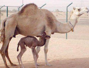 O cămilă nou născută